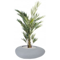Plantes KENTHIA ROYAL